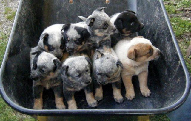 Blue Heelers For Sale : Pets and animals for sale in cardington ohio puppy and kitten