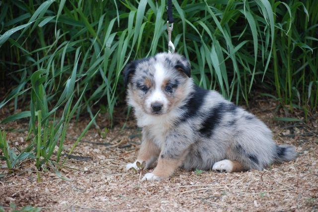 Adorable Australian Shepherd Border Collie Heeler Cross