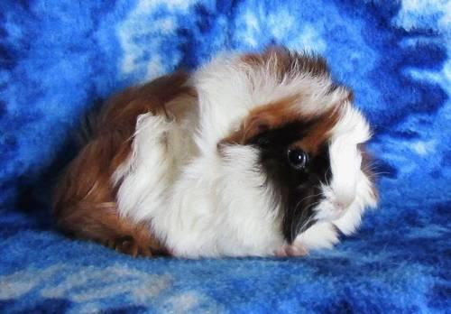 Adorable Baby Long Haired Guinea Pigs