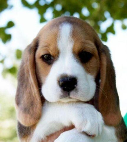 Adorable Beagle Puppies For Sale In Pleasant Grove California