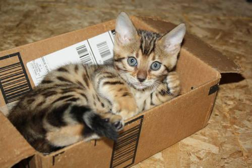 Adorable Bengal Kittens For Sale In Ware Massachusetts Classified Americanlisted Com