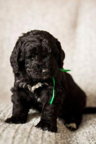 adorable bernedoodle puppies for sale in le roy minnesota