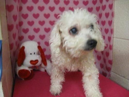 Adorable Bichon Frise puppy for sale - 7 month for Sale in ...