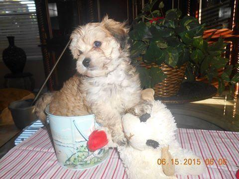 Adorable Bichon Shih Tzu Puppies 8 Weeks Old For Sale In