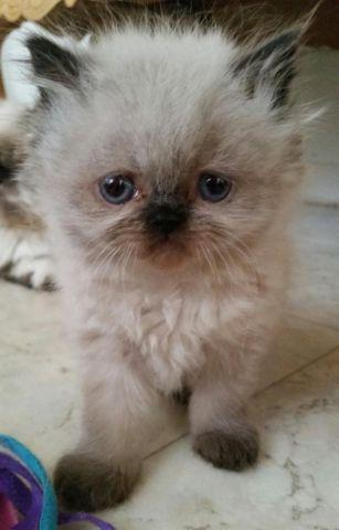 Adorable bicolored and standard Himalayan kittens