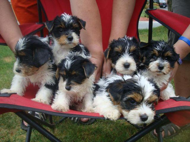 yorkie breeders washington state adorable biewer yorkies party yorkies puppies for sale 5596