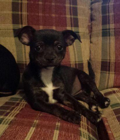 brindle chihuahua for sale adorable black brindle female chihuahua puppy for sale 1950