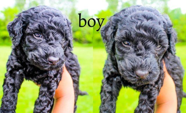 Adorable Black F1b Goldendoodle Puppies for Sale in ...