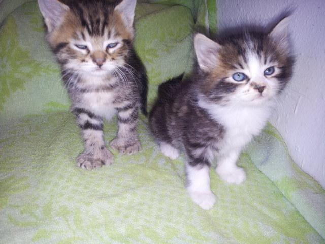 Maine Coon Kittens For Sale Seattle Adorable blue eye poly...