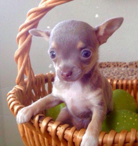 blue eyed chihuahua adorable blue eyed blue chihuahuas for adoption 8 weeks 5885