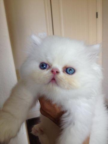 Adorable blue eyed white Persian