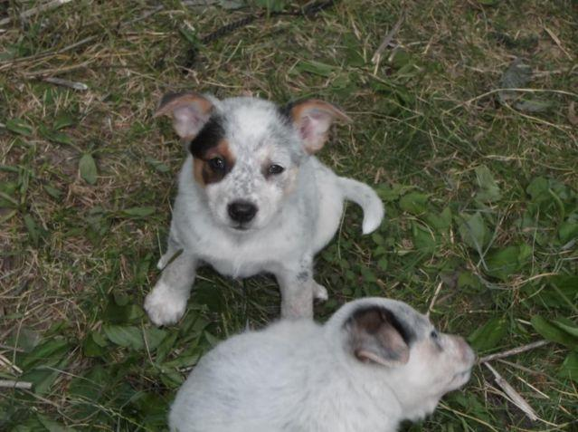 Adorable Blue Heeler Australian Shepherd Mix Puppies For