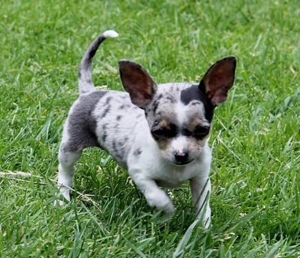 blue merle chihuahua for sale adorable blue merle chihuahua puppy 9 weeks akc for sale 8799