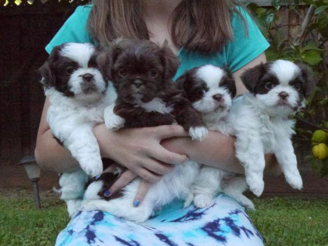 Adorable Blue Nose Shih Tzu Puppies For Sale For Sale In Sunnyvale