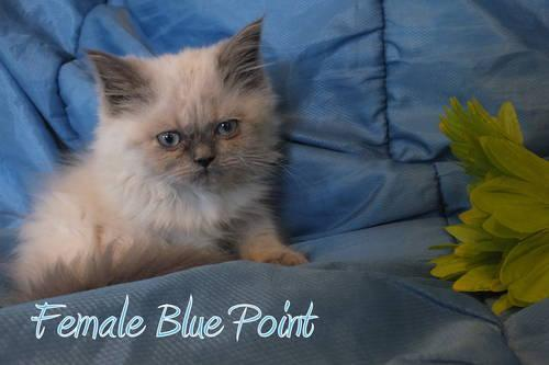 Gas Prices In Tennessee >> Adorable Blue Point and Blue/Cream Tortie Himalayan Kitten ...