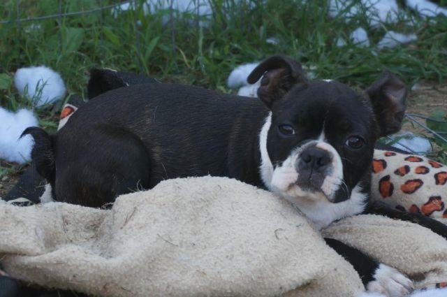 Boston Terriers for Sale Craigslist