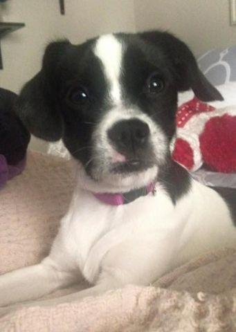 Boston Terrier For Sale In Houston Texas Classifieds Buy And Sell