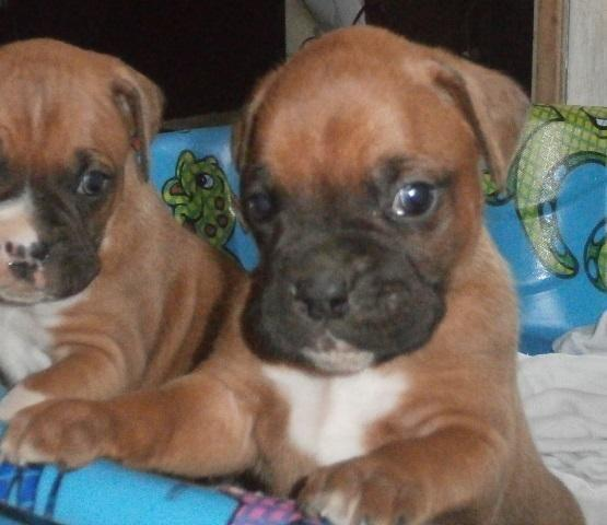Boxer Puppies For Sale In Wisconsin Classifieds Buy And Sell In