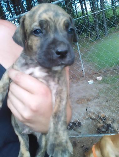 Adorable Brindel Pitbull Mastiff Mix Puppies For Sale In Bladenboro