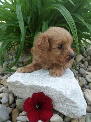 Yorkie Poo For Sale In Indiana Classifieds Buy And Sell In Indiana