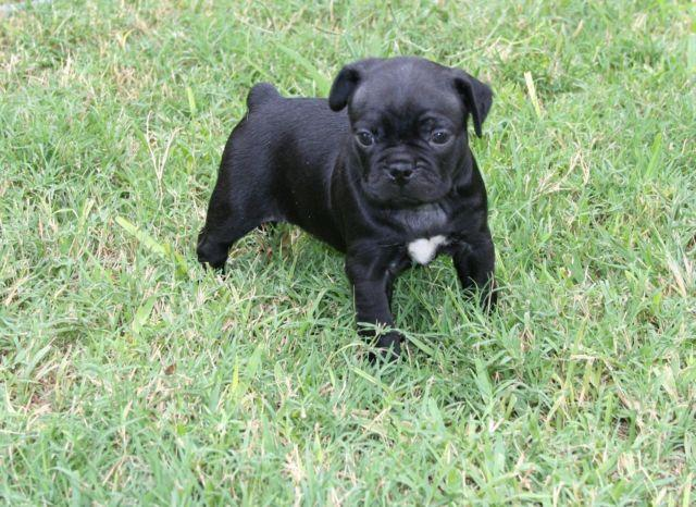 adorable bugg puppies   boston terrier x pug  with vet exams  for sale in san antonio  texas