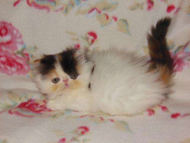Adorable Calico High White Persian Kitten for sale