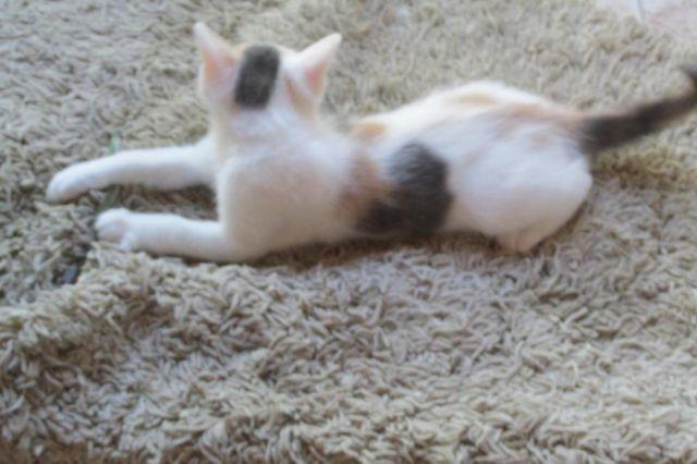 Adorable Calico Kitten Half Ragdoll, 1/4 Maine Coon and 1/4