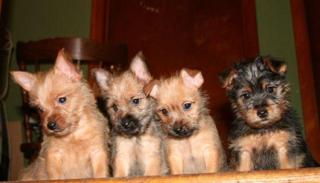 Adorable Carkie Puppies Yorkie Amp Cairn Terrier Mix 11