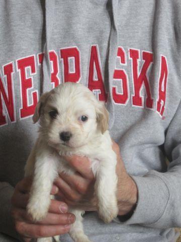 Adorable Cavachon Puppy
