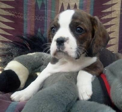boston terrier puppies for sale oregon adorable cavalier boston terrier puppies 8 weeks old for 7167