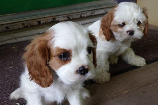 shih tzu cavalier mix adorable cavalier king charles shih tzu mix for sale in 405