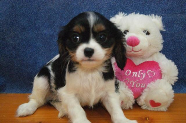 ADORABLE CAVALIER KING CHARLES SPANIEL--MALE--8/14/15