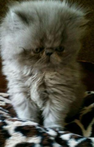 Adorable CFA persian kitten