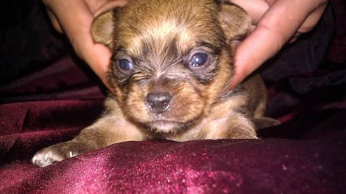 Adorable Chihuahuashorkie Mix Puppies For Sale For Sale In
