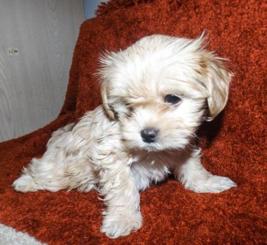 Adorable Chihuahua Yorkie Mix Puppies For Sale To Good Home For Sale
