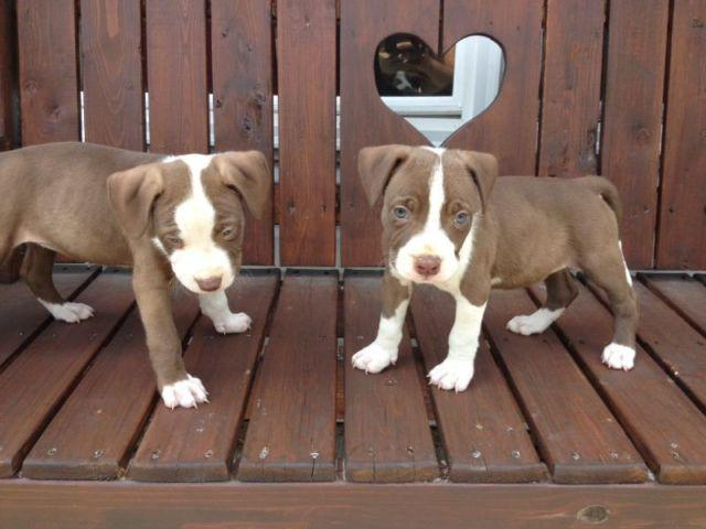 Adorable Chocolate Rednose Pitbull Puppies for Sale in ...