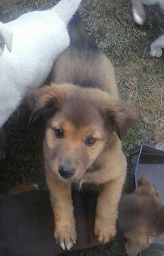 Adorable chow german shepherd doberman pinscher mixed puppies for sale