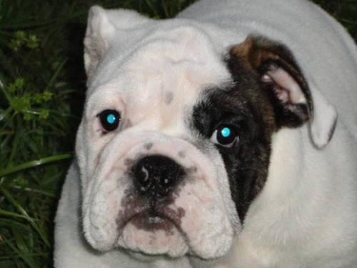 Beautiful English Bulldog Chubby Adorable Dog - adorable-chubby-akc-english-bulldog-puppies-americanlisted_29981975  Graphic_28841  .jpg
