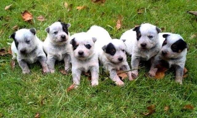Download Australia Chubby Adorable Dog - adorable-chubby-blue-heeler-puppies-americanlisted_38893167  Graphic_1008055  .jpg