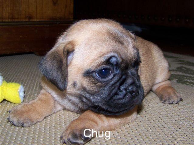 Adorable Chugs and Pug puppies