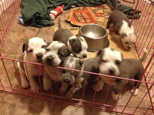 Adorable CKC Blue Bully Pitbull Puppies
