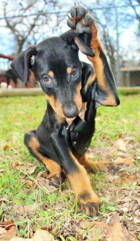Adorable CKC doberman babies.. 10 weeks old. FEmales