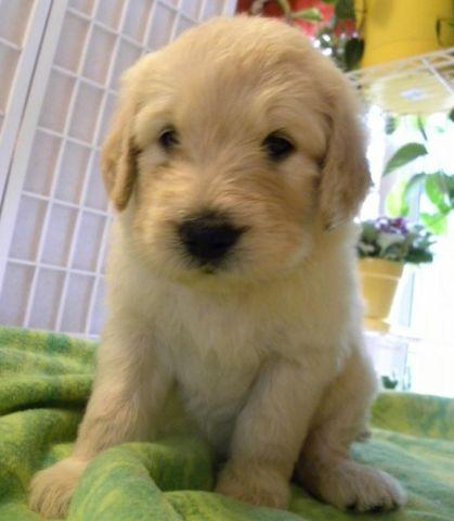 Adorable Ckc Goldendoodle Puppies For Sale For Sale In Lynchburg