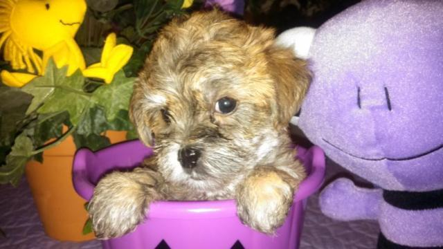 Bichon Poo Pets And Animals For Sale In Lewisville Indiana Puppy
