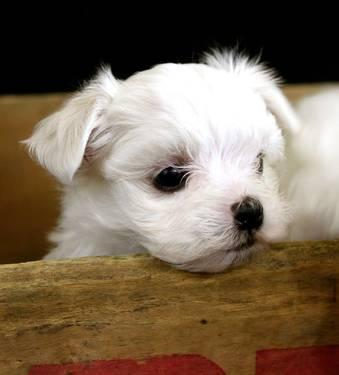 maltese puppies for sale in ky adorable ckc maltese puppies for sale in berea kentucky 6445