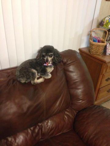 Adorable CKC phantom female toy poodle
