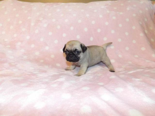pug puppies for sale in alabama adorable ckc pug puppies for sale in gurley alabama 9232