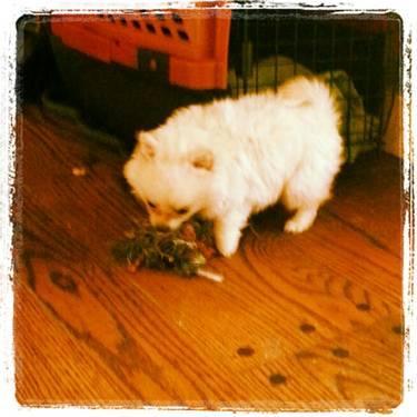 Adorable Corgipomeranian Puppies 8 Weeks Old For Sale In Crockett