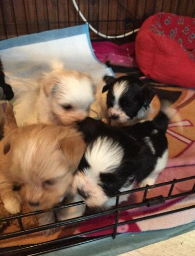 Adorable, Cuddly Shih Tzu Puppies
