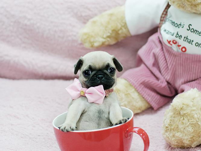Adorable Cute As A Button Micro Teacup Male Pug Puppy For Sale In
